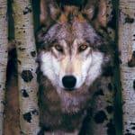 gray-wolf-55cf83696bd42ec1dd6940390305e952
