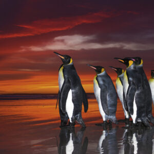 Buy HEYE King Penguins (1000 Piece Jigsaw Puzzle) only at Jigsaw Nation.